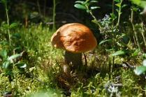 Красноголовик в емецких лесах