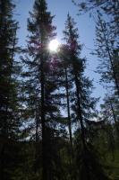 Ели в солнце